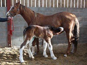 Adopted Foal